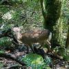 屋久島の森の鹿