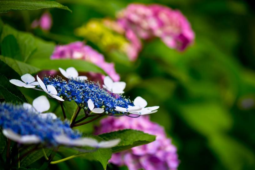 青とピンク色のアジサイ