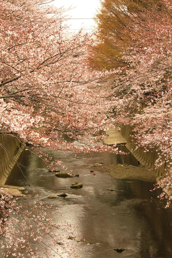 板橋十景 石神井川の桜