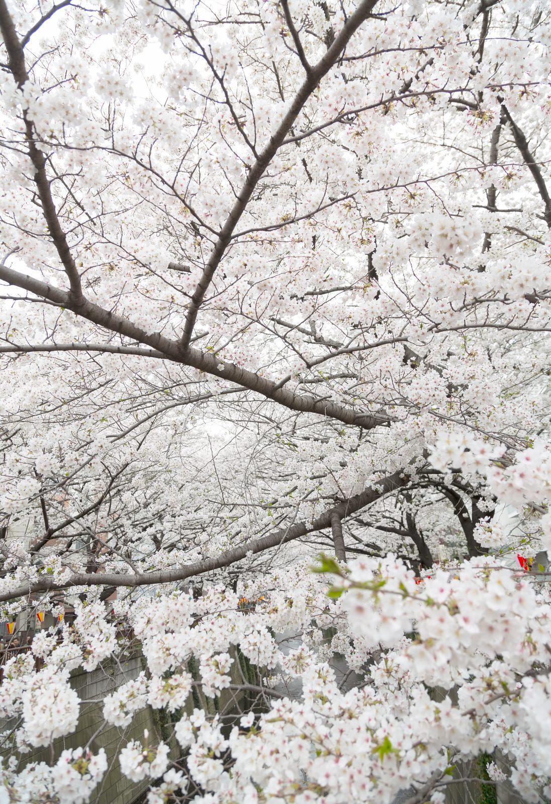 桜の木々桜の木々