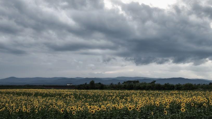 曇り空とひまわり畑