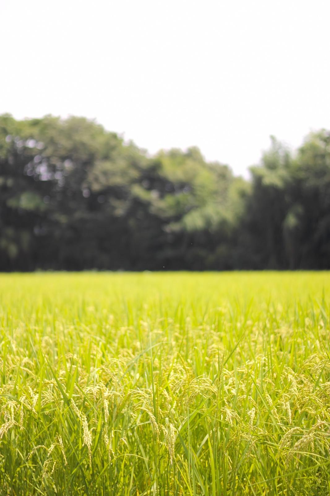 夏の田んぼと稲夏の田んぼと稲