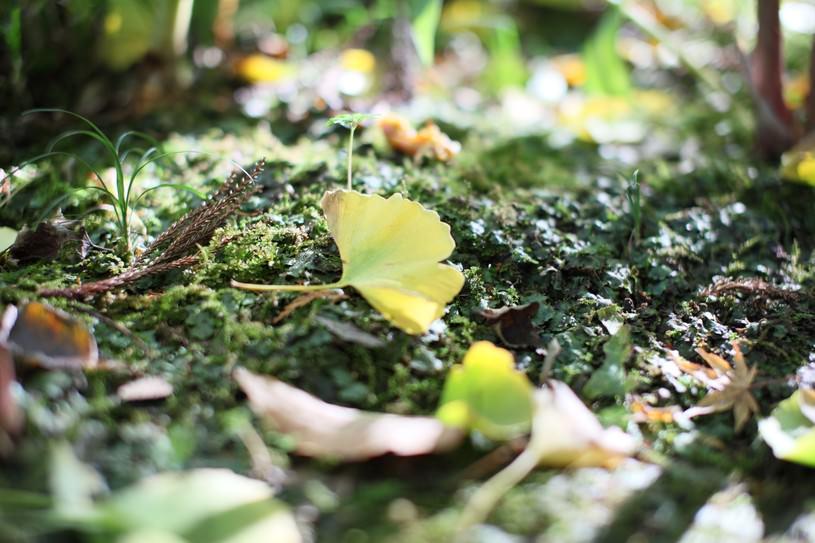 イチョウの落ち葉で秋を知る