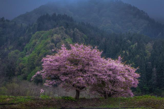 ひっそりと咲く山桜の写真