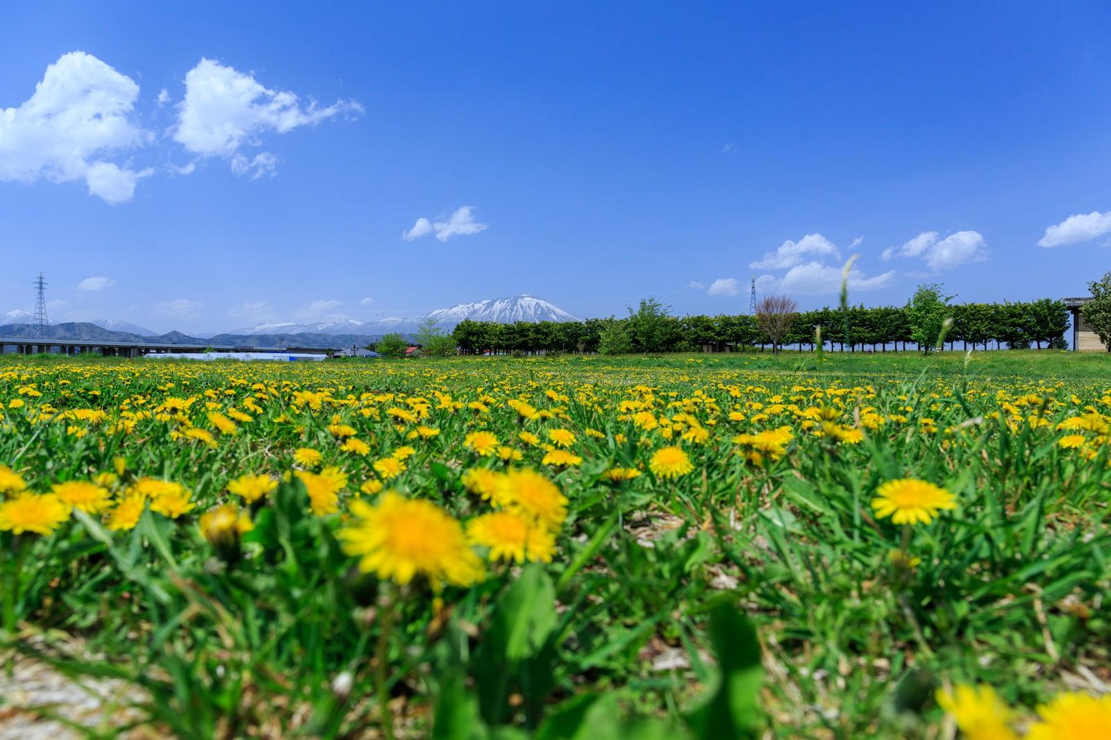 「たんぽぽと岩手山」の写真