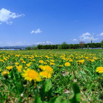たんぽぽと岩手山の写真