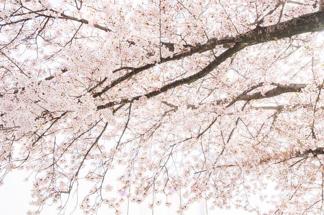 桜満開の春の写真