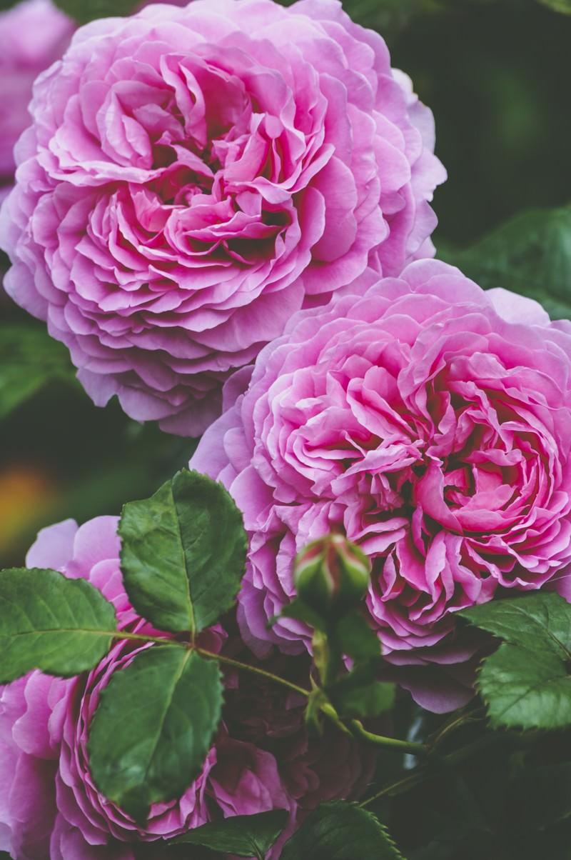 ロゼット咲きのバラの花