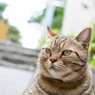 ボス風格の野良猫の写真