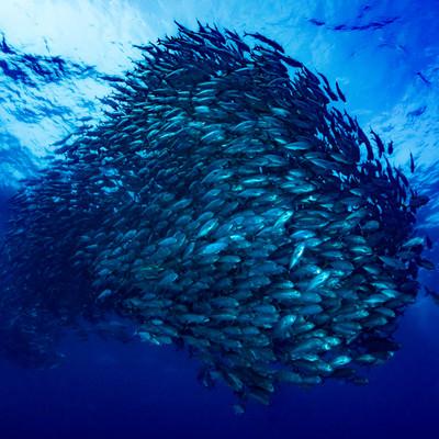 群れで泳ぐギンガメアジの写真