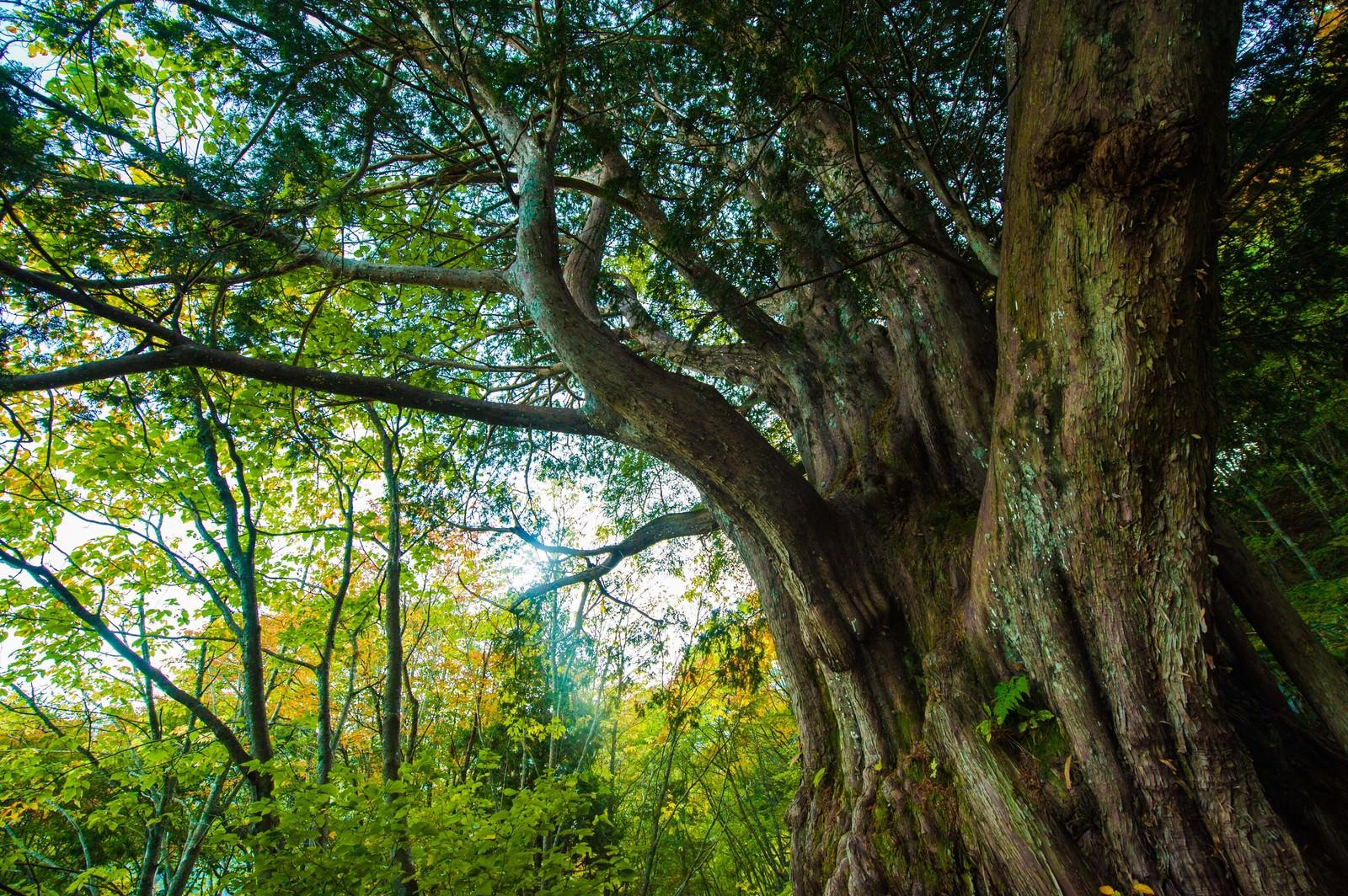 「森の巨人たち百選・平湯大ネズコ」