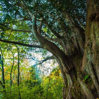 森の巨人たち百選・平湯大ネズコの写真