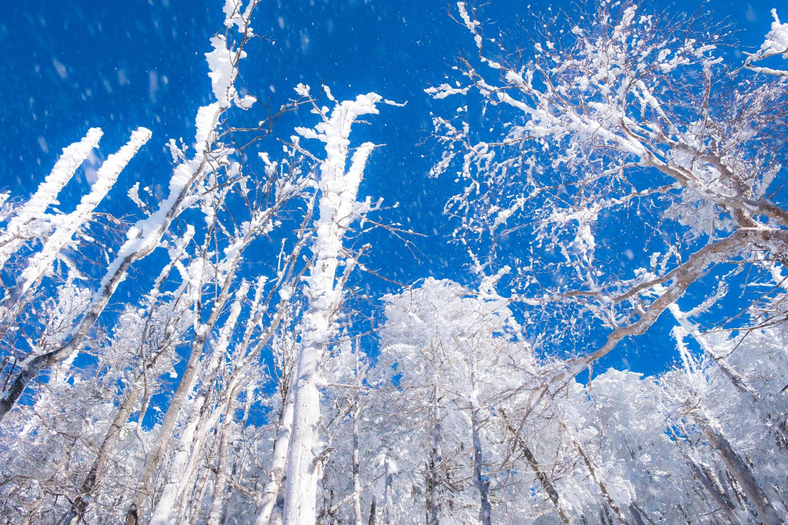 「八ヶ岳ブルーに舞い上がる霧氷の雪」の写真