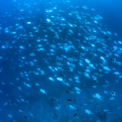 海中の魚群(スキューバダイビング)の写真