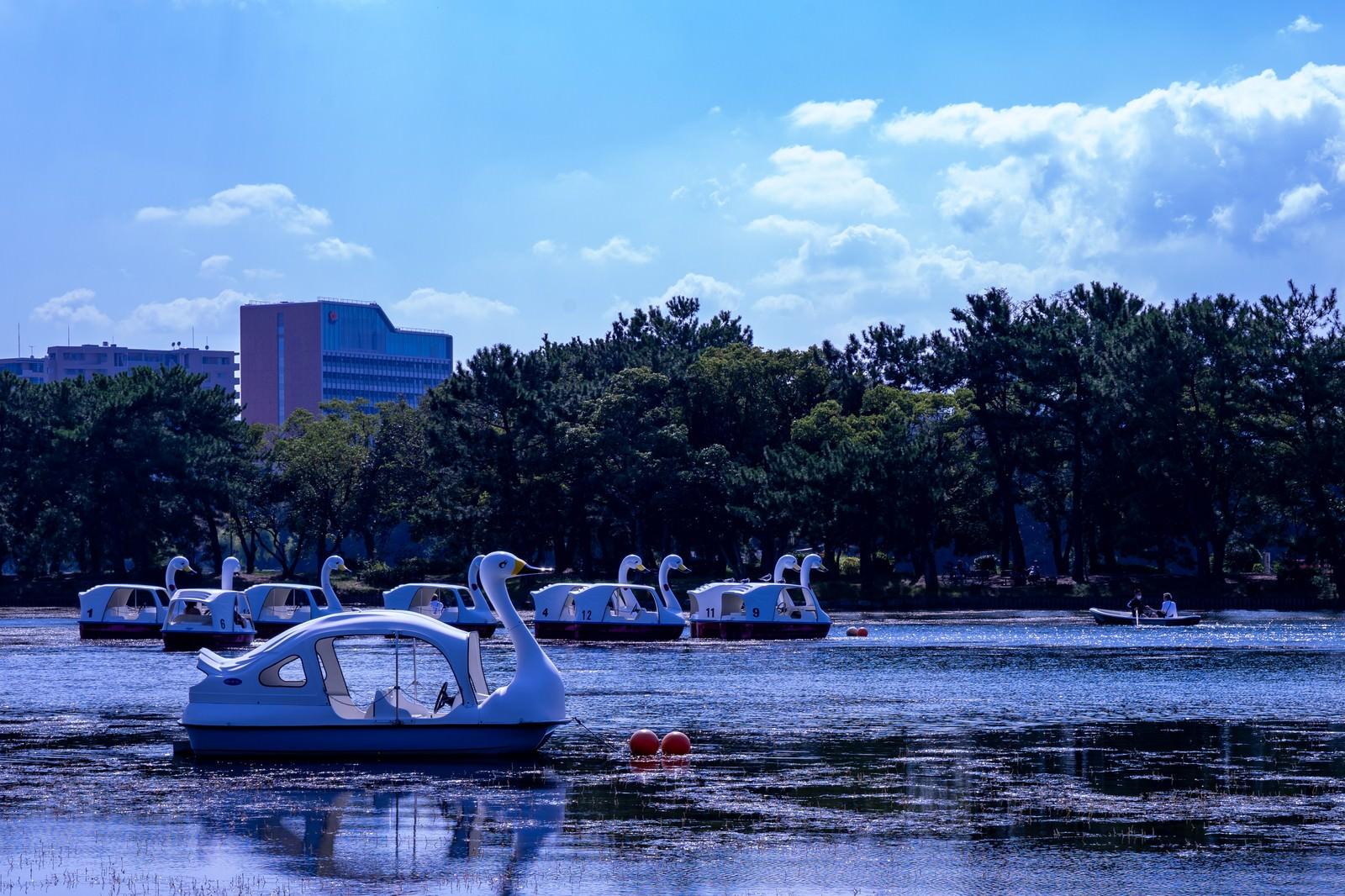「優雅に泳ぐスワンボート」の写真