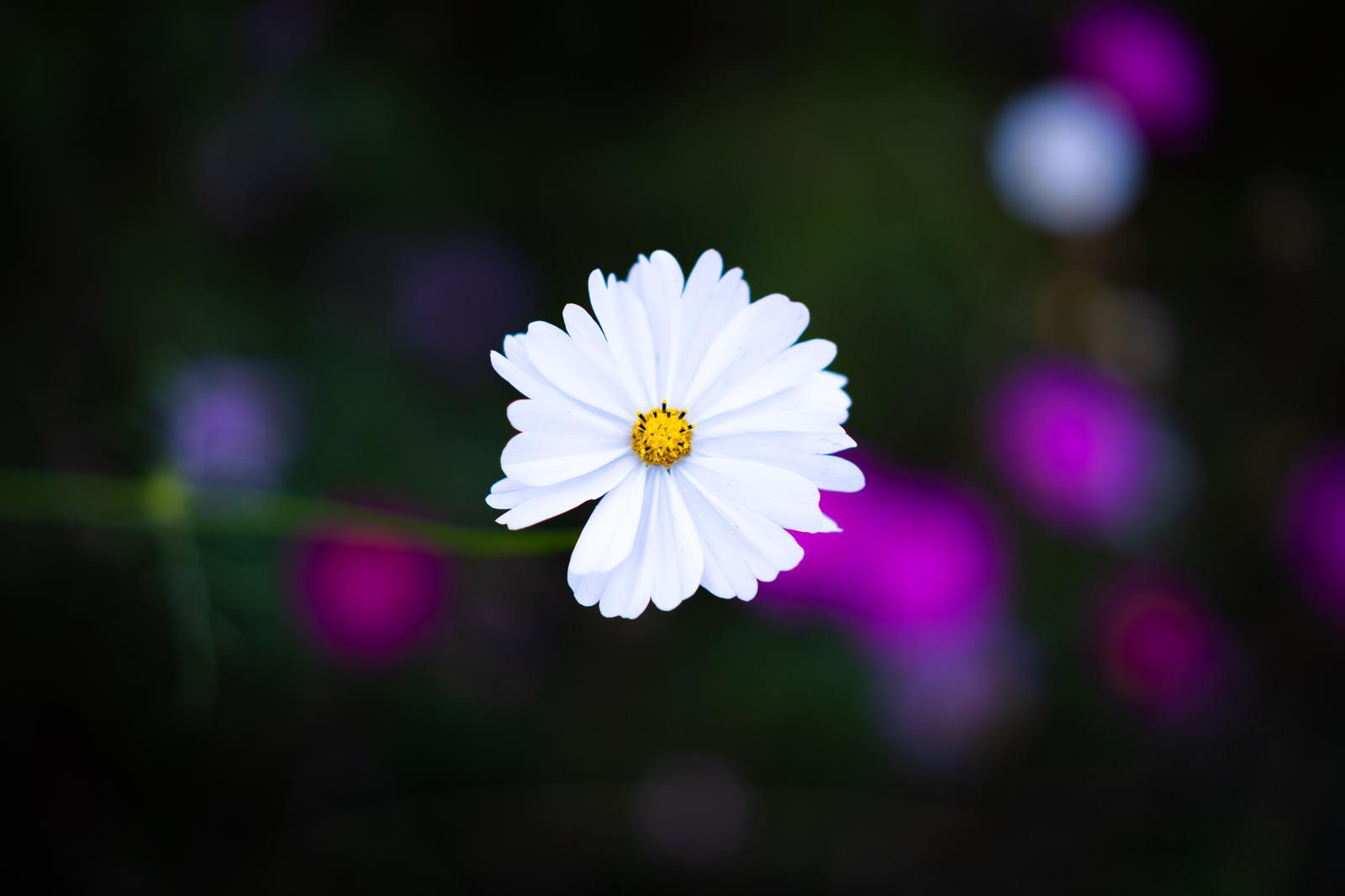 「白いコスモス」の写真
