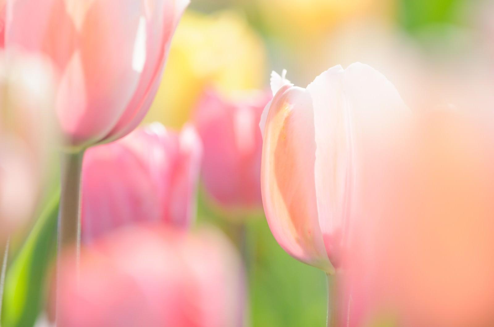 「ふわふわ春色チューリップ」の写真