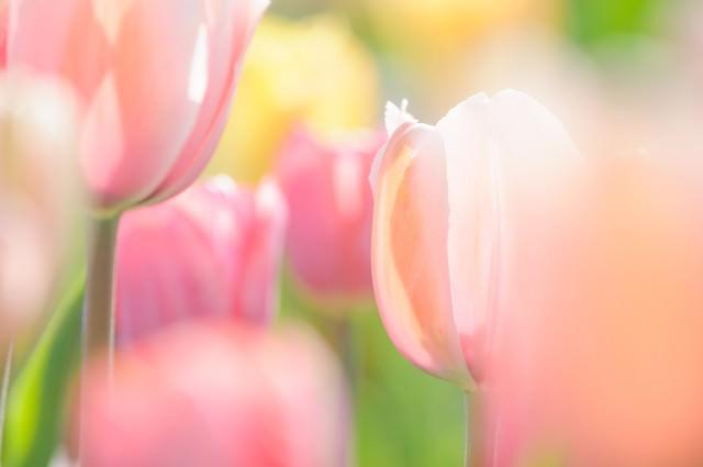 ふわふわ春色チューリップの写真