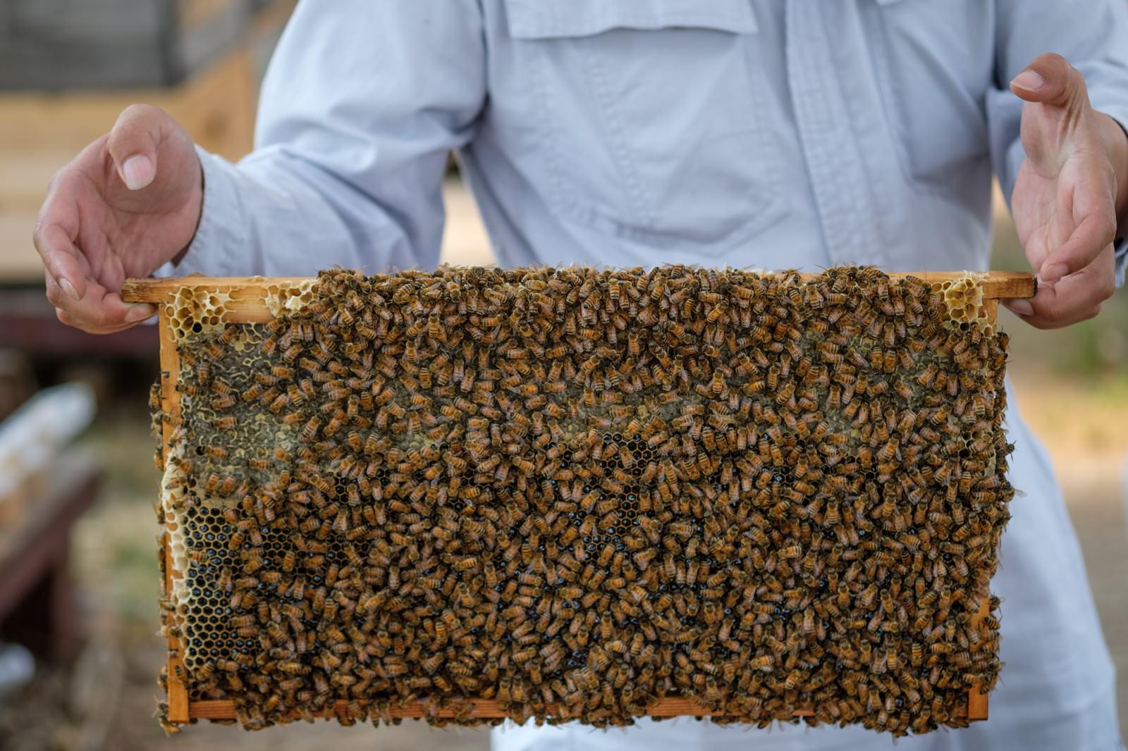 「蜜の溜まっている巣板にビッシリのミツバチ」の写真