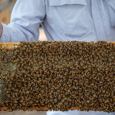 「蜜の溜まっている巣板にビッシリのミツバチ」の写真素材