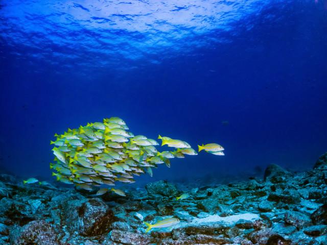 まとまって泳ぐヨスジフエダイの写真