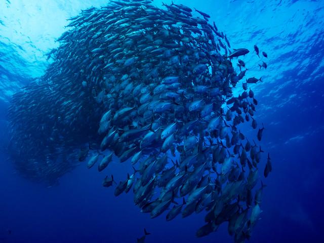 一塊で泳ぐギンガメアジの魚群の写真