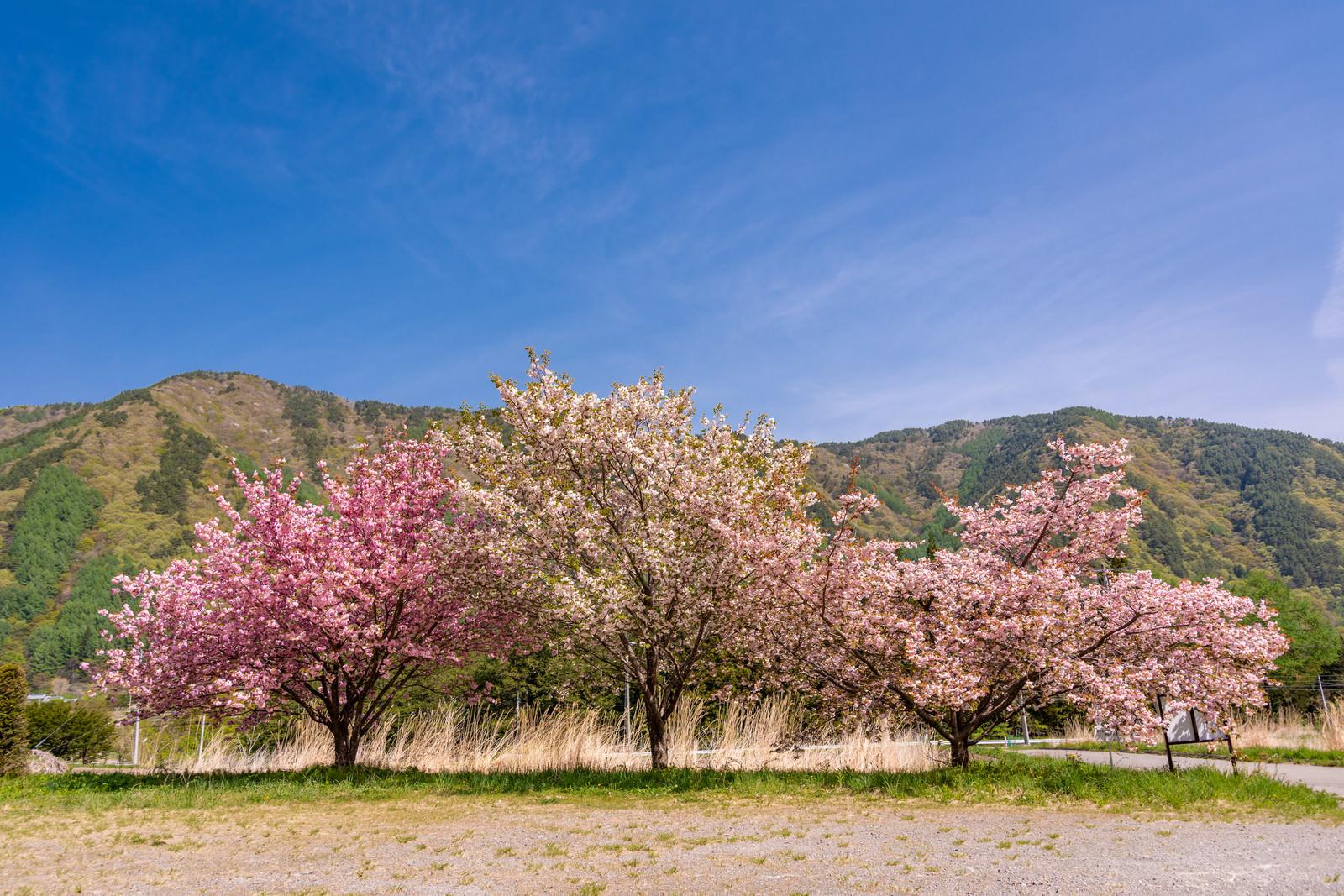 「空き地に咲く桜」の写真