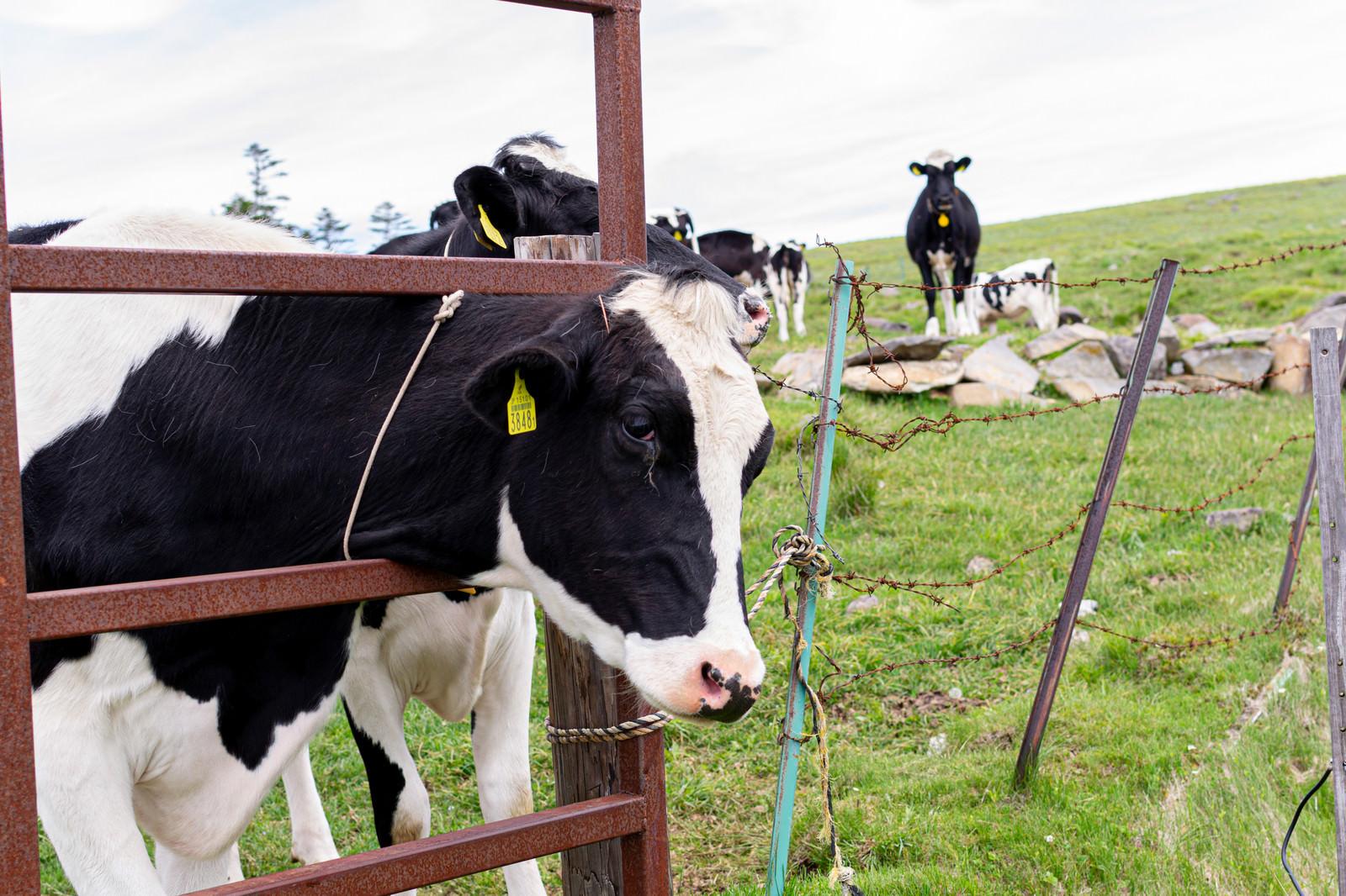 「美ヶ原に放牧された牛」の写真