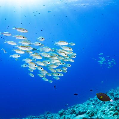 まとまって泳ぐノコギリダイの写真