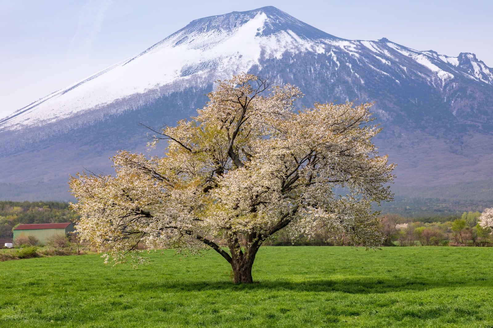 「八幡平田代平の一本桜(葉桜)」の写真