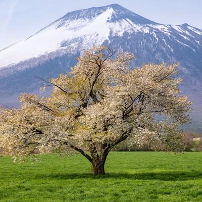 八幡平田代平の一本桜(葉桜)の写真