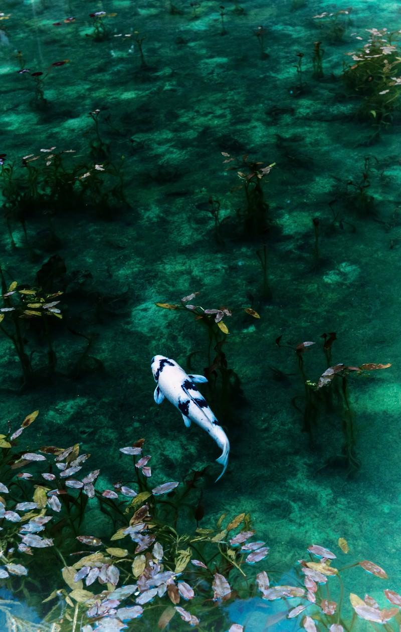 「モネの池の鯉」の写真