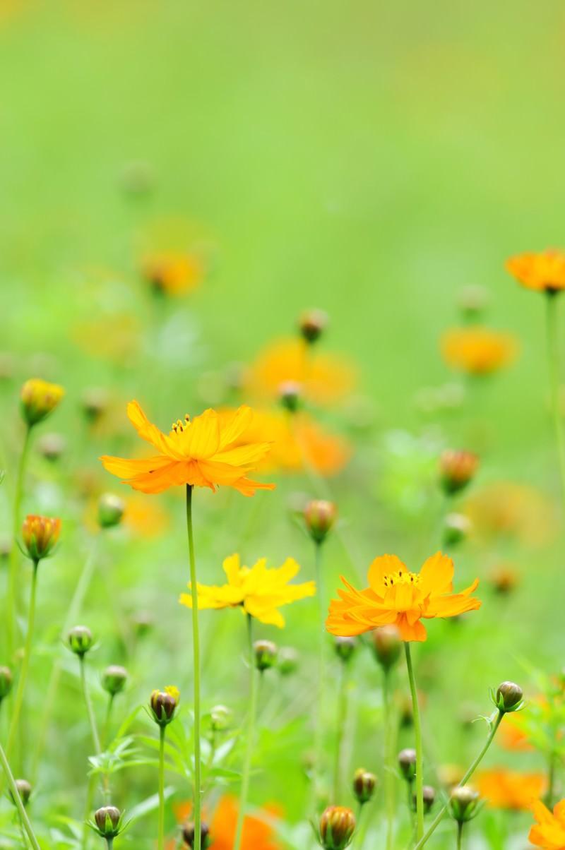 「キバナコスモスの花」の写真