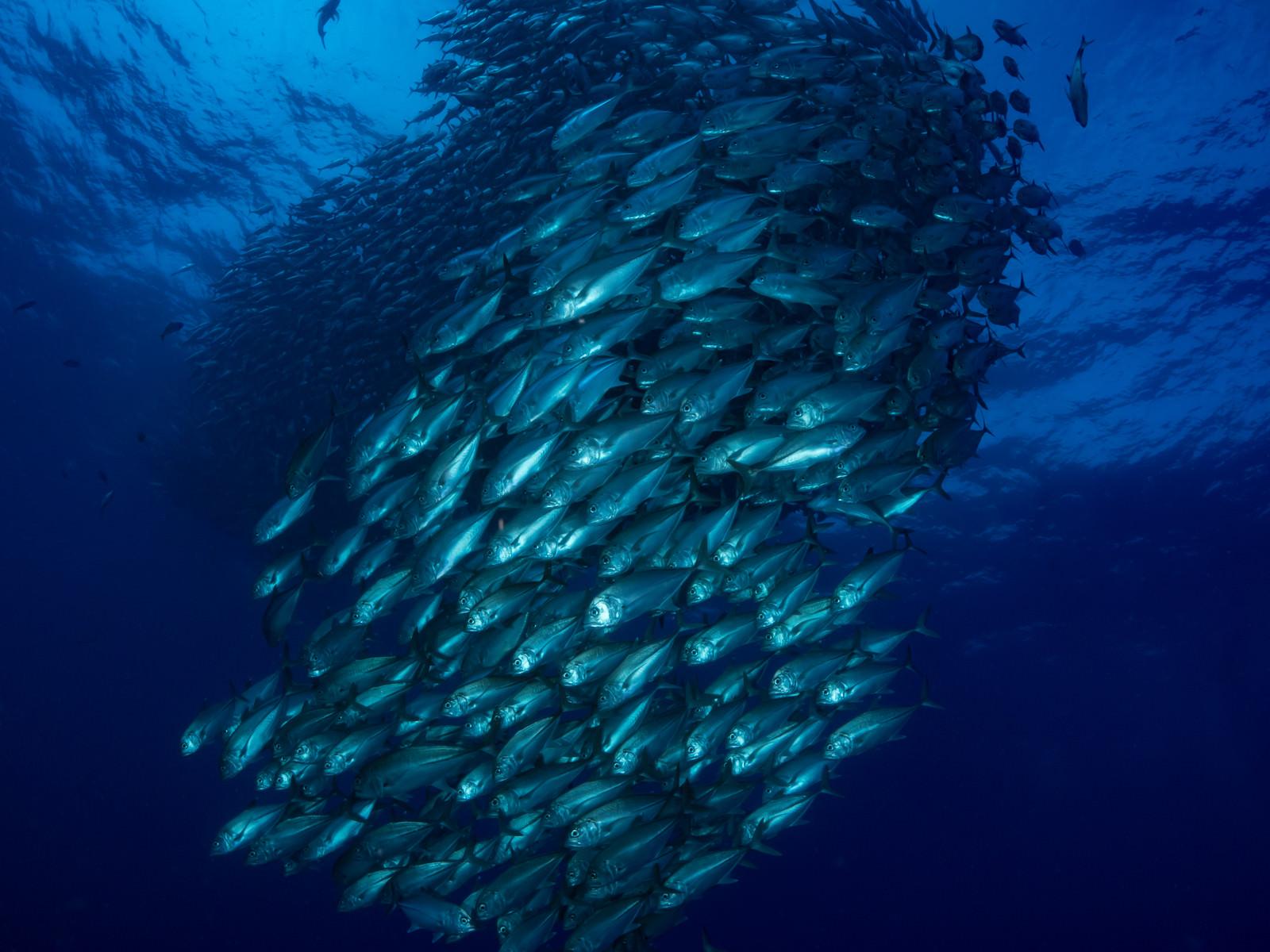 「目の前を泳ぐギンガメアジ群れ(大群)目の前を泳ぐギンガメアジ群れ(大群)」のフリー写真素材を拡大