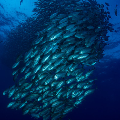 目の前を泳ぐギンガメアジ群れ(大群)の写真