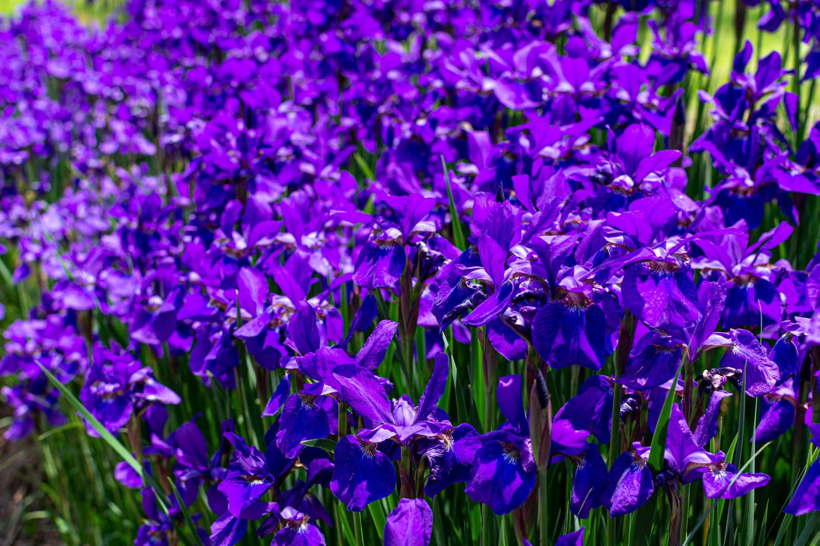 「無数に咲く紫色の花」の写真