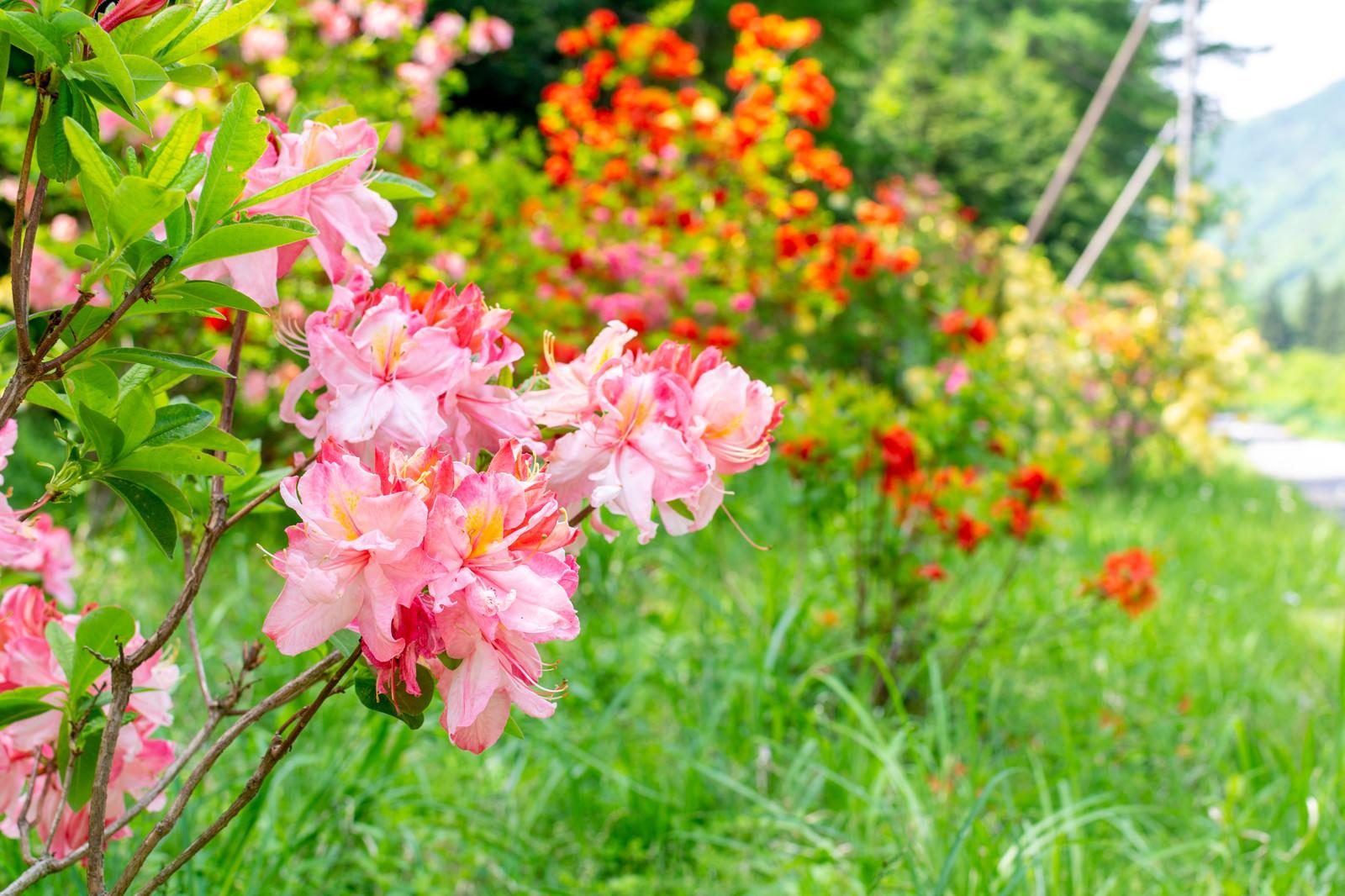 「道端に咲くアザレア(西洋ツツジ)」の写真