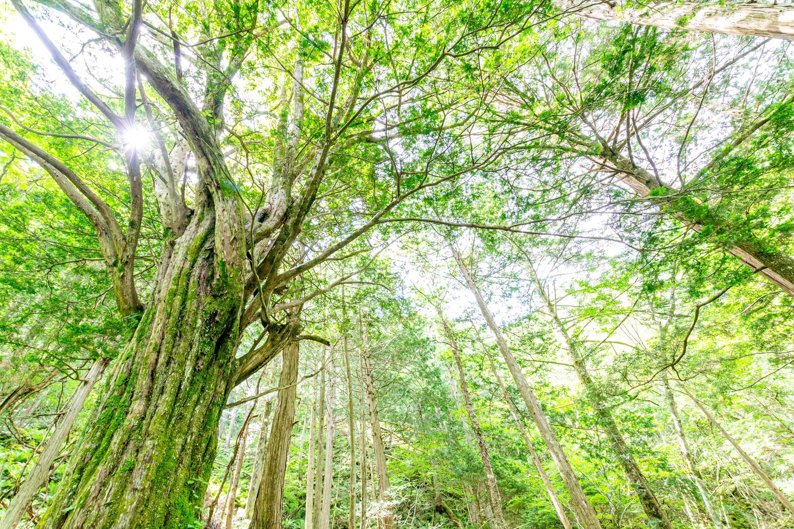 「トガの親木のある森(美ヶ原)」の写真