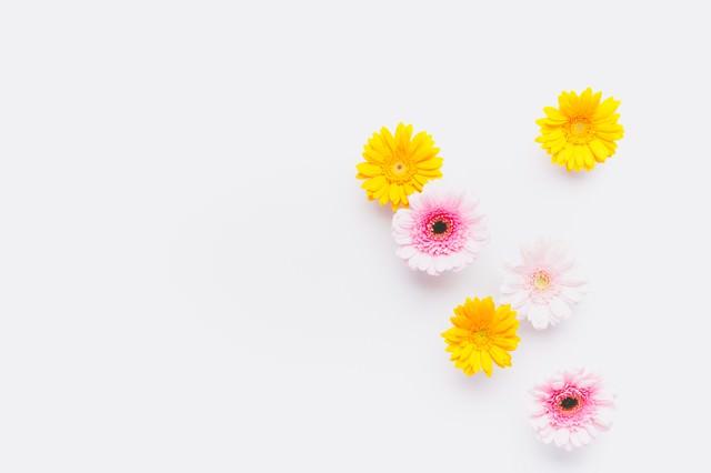 ガーベラの花(マット)の写真