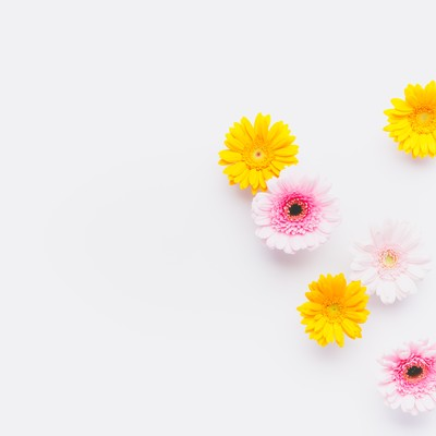 「ガーベラの花(マット)」の写真素材