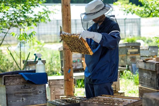 蜜蜂の生態チェックを行う養蜂家の写真