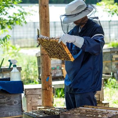 「蜜蜂の生態チェックを行う養蜂家」の写真素材