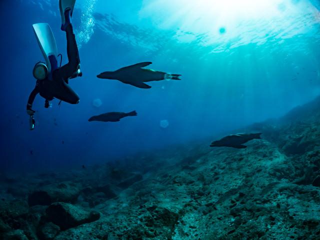 アシカと泳ぐダイバーの写真