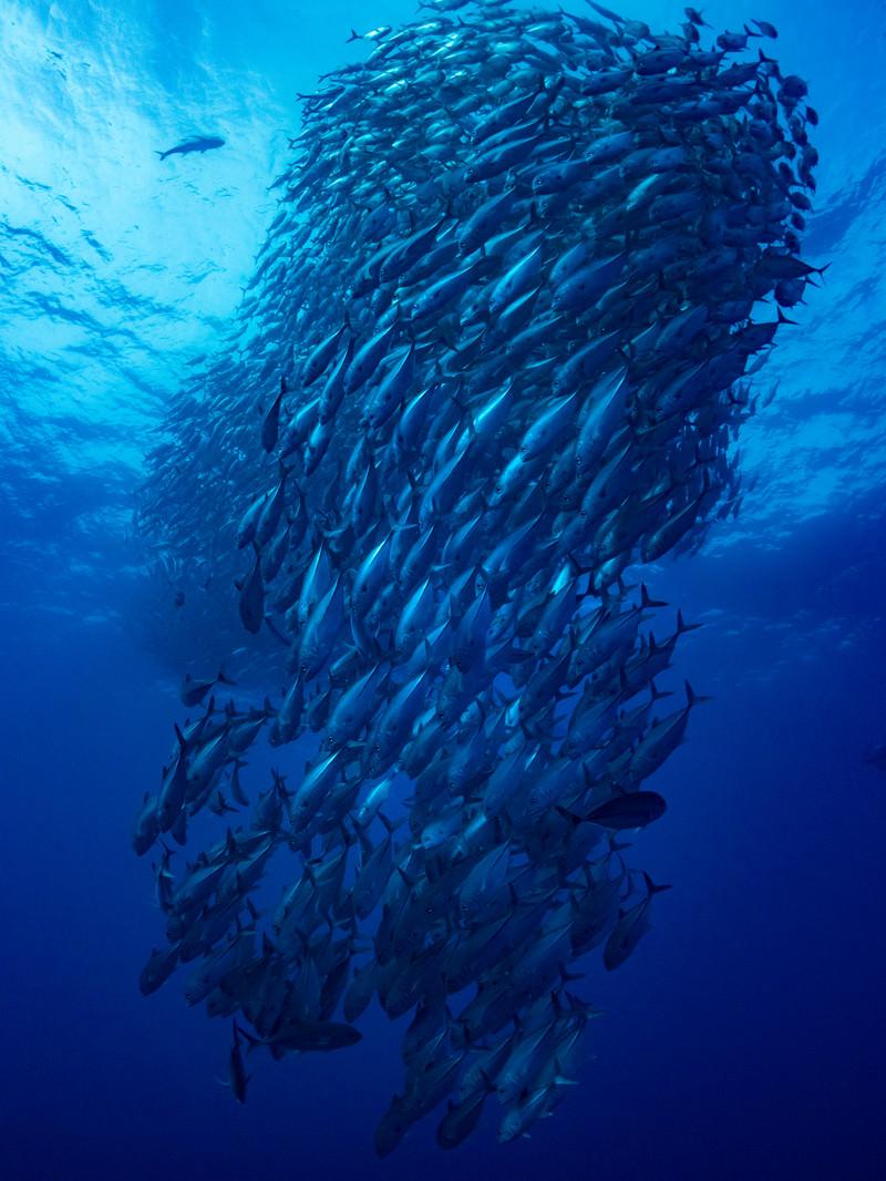 「ギンガメアジの大群(海中)」の写真