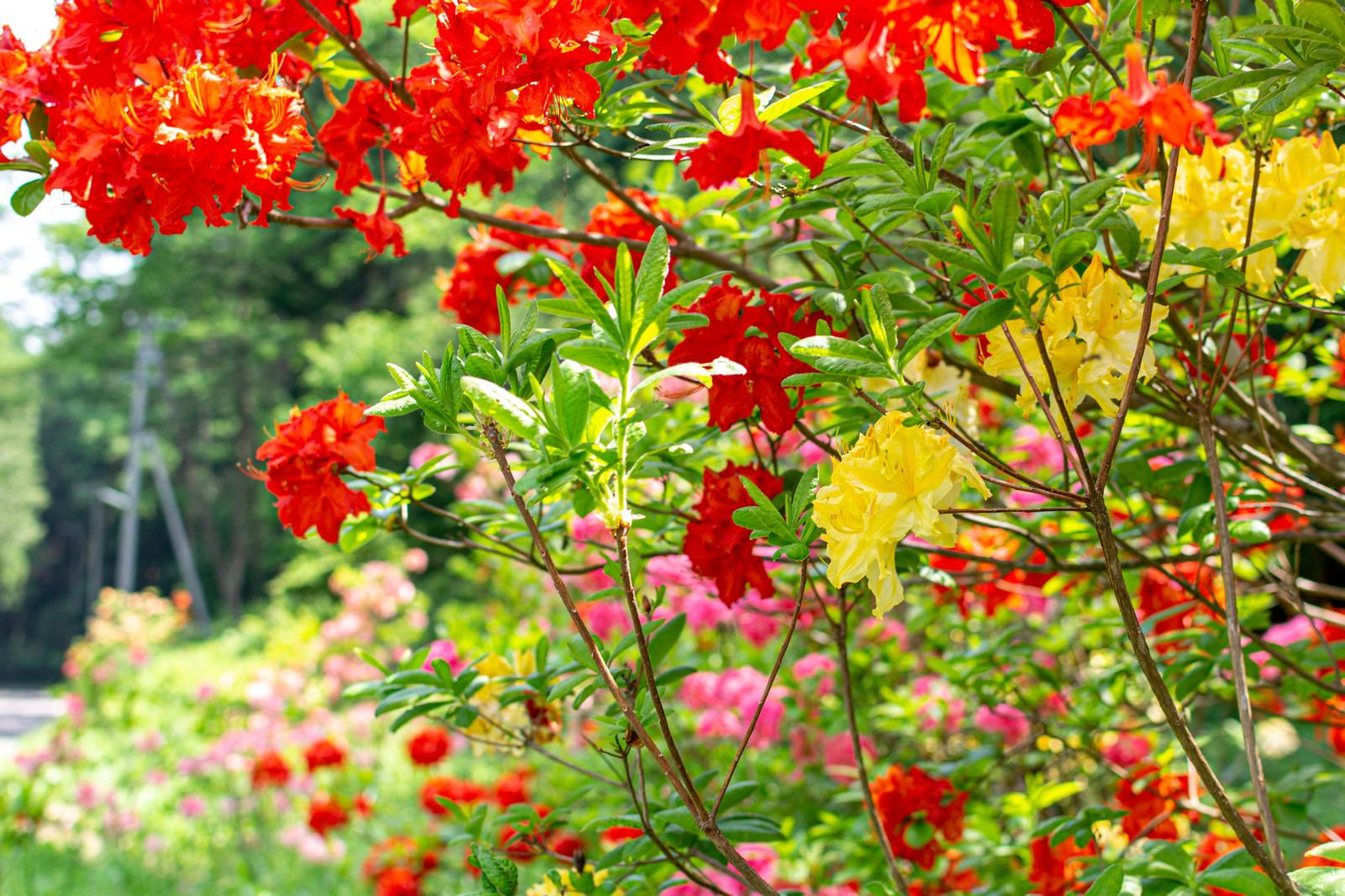 「色鮮やかなアザレア(西洋ツツジ)」の写真
