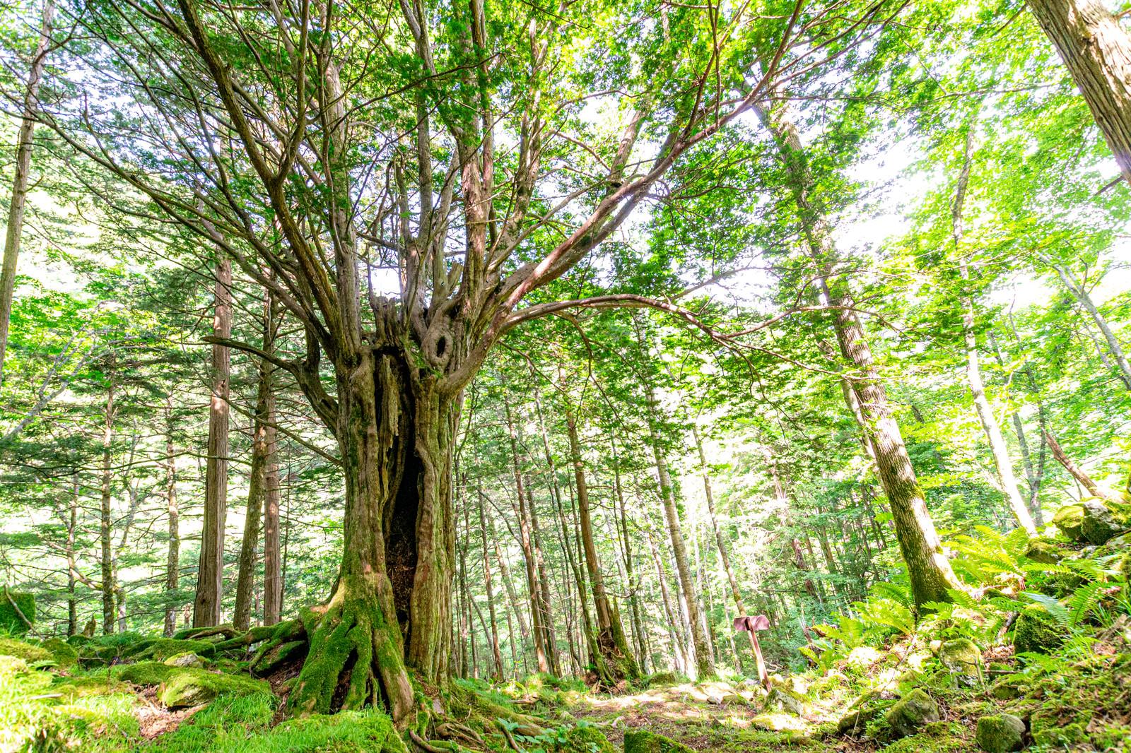 「木漏れ日とトガの親木(美ヶ原)」の写真