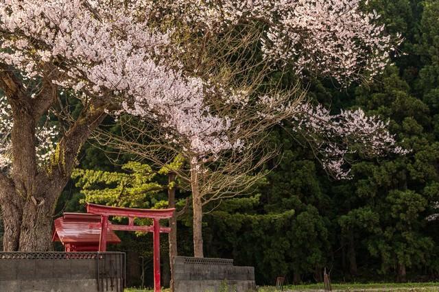 小さな祠と桜の写真