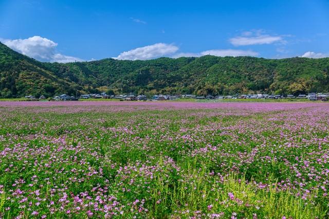レンゲ畑と民家の写真