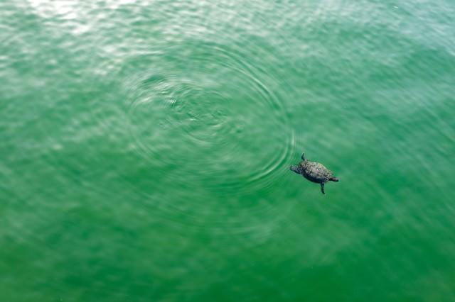 池ポチャ亀さんの写真