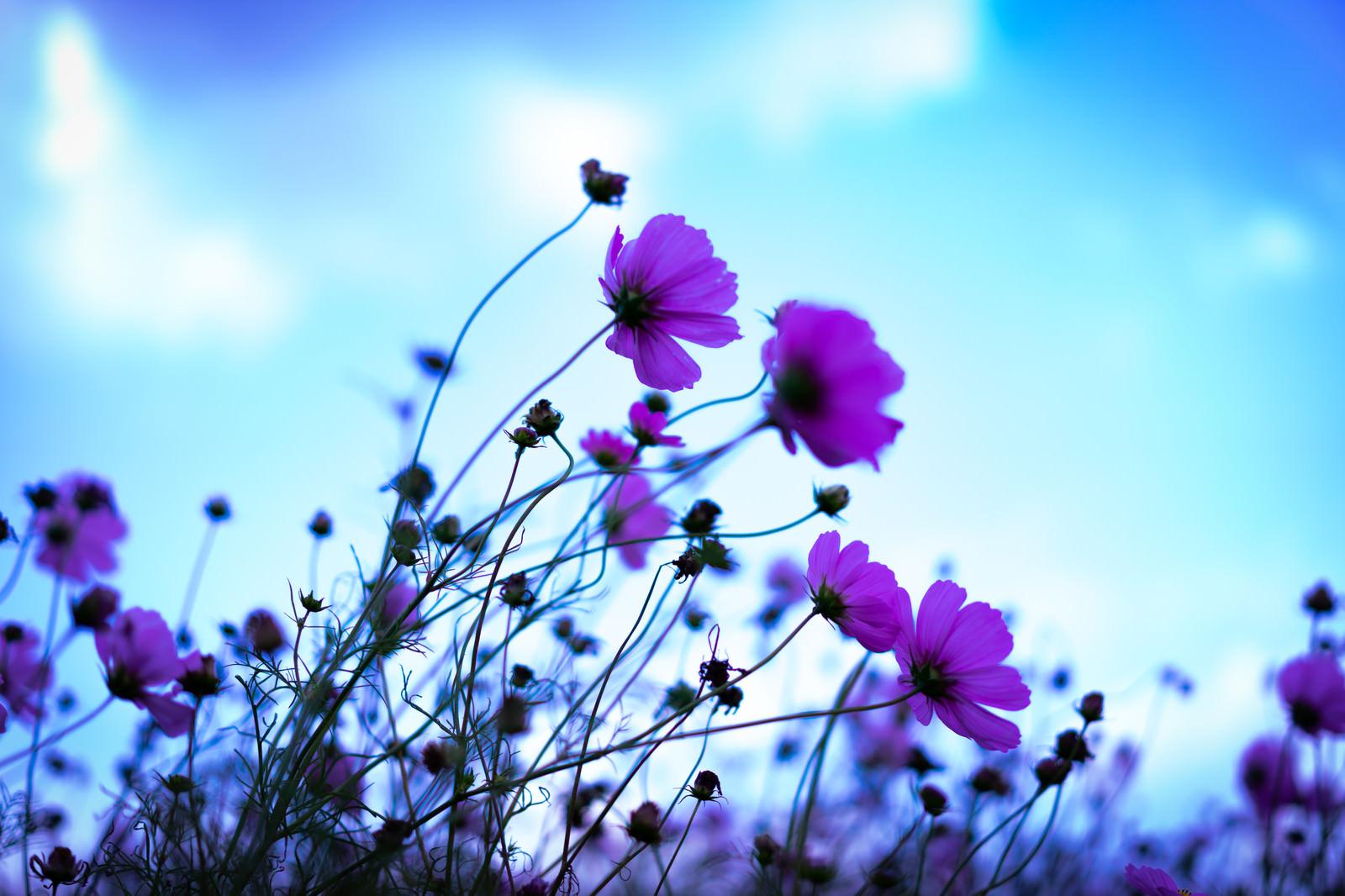 「凛と咲き誇るコスモス」の写真